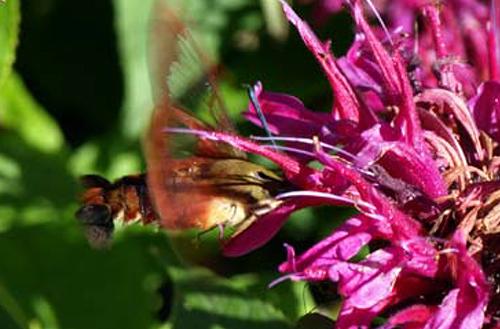 colibri papillon